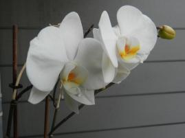Een witte Orchidee die helemaal openbloeit